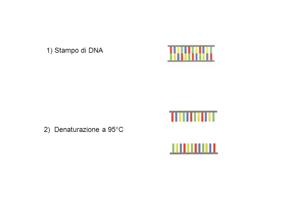 2) Denaturazione a 95°C 1) Stampo di DNA