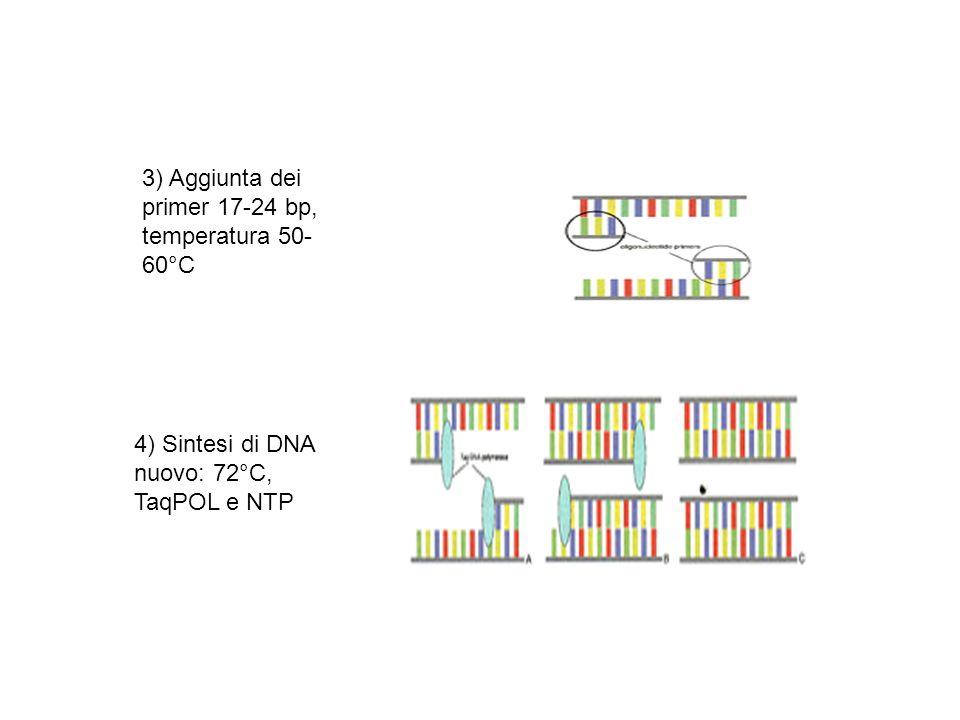 4) Sintesi di DNA nuovo: 72°C, TaqPOL e NTP 3) Aggiunta dei primer 17-24 bp, temperatura 50- 60°C