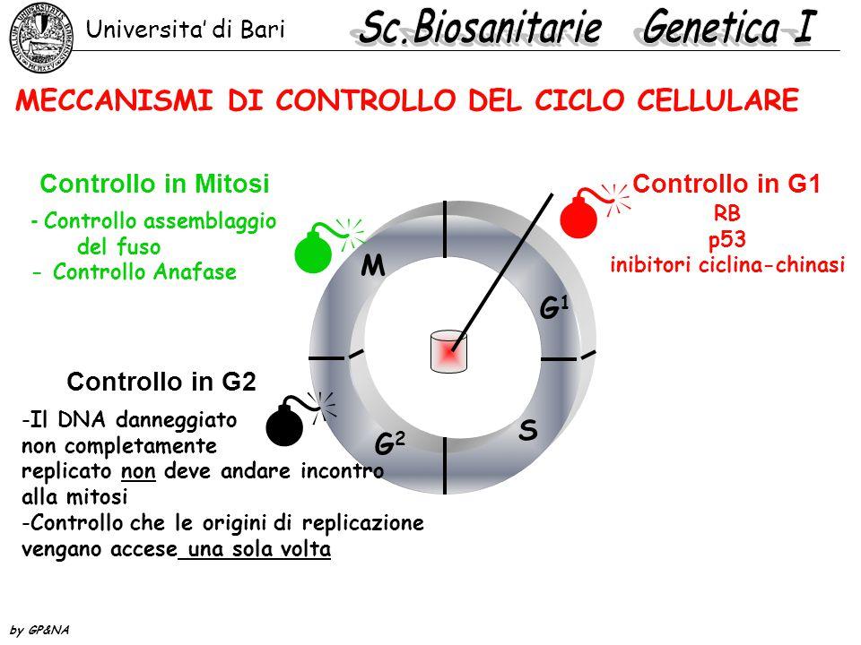 - Controllo assemblaggio del fuso - Controllo Anafase RB p53 inibitori ciclina-chinasi Controllo in G1 Controllo in G2 Controllo in Mitosi MECCANISMI