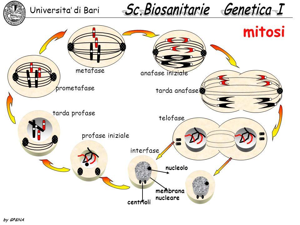 mitosi Universita' di Bari by GP&NA interfase profase iniziale tarda profase prometafase metafase anafase iniziale tarda anafase telofase centrioli nu
