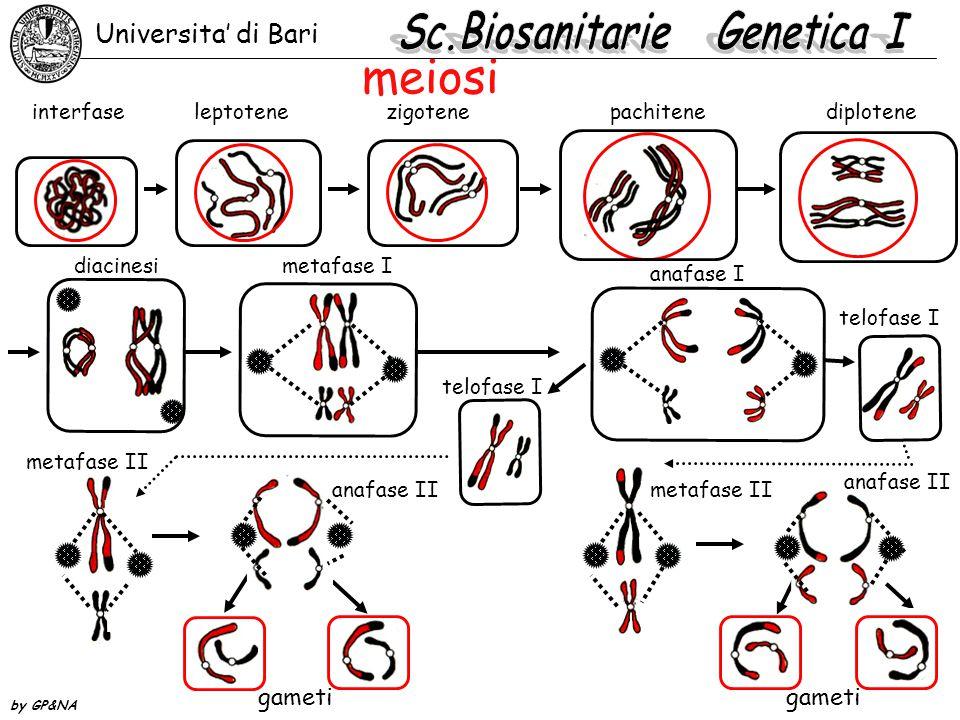 meiosi interfaseleptotenezigotenepachitenediplotene metafase I anafase I telofase I metafase II anafase II metafase II anafase II gameti diacinesi Uni