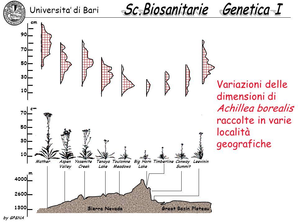 Variazioni delle dimensioni di Achillea borealis raccolte in varie località geografiche 90 70 50 30 10 cm 70 50 30 10 cm 4000 2600 1300 m Universita'