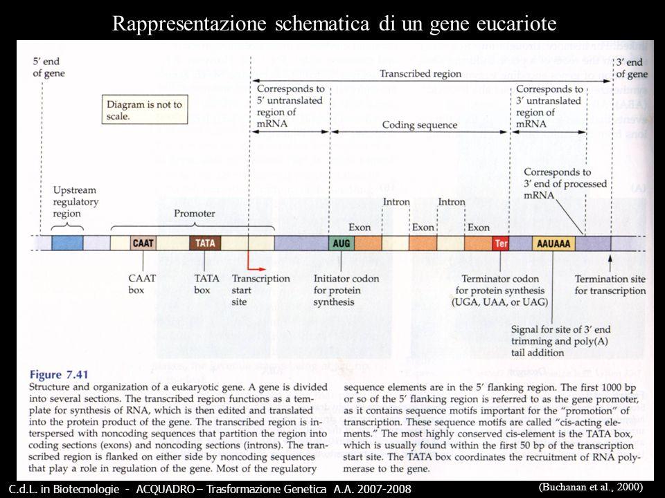 C.d.L. in Biotecnologie - ACQUADRO – Trasformazione Genetica A.A. 2007-2008 Rappresentazione schematica di un gene eucariote (Buchanan et al., 2000)
