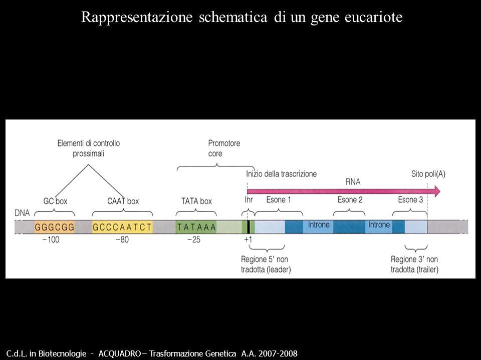 C.d.L. in Biotecnologie - ACQUADRO – Trasformazione Genetica A.A. 2007-2008 Rappresentazione schematica di un gene eucariote