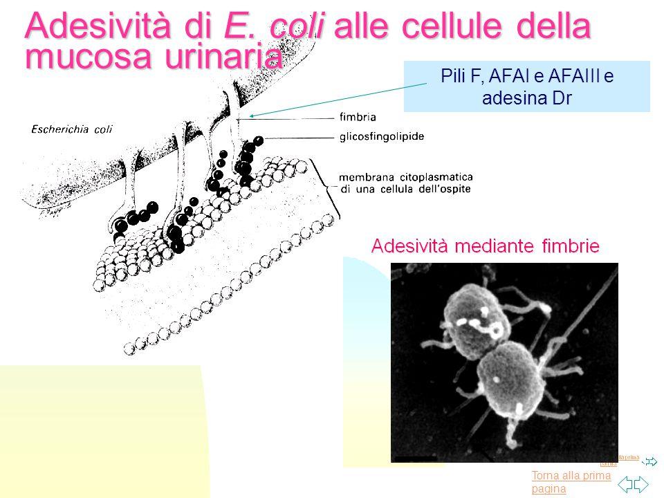 Torna alla prima pagina Adesività di E. coli alle cellule della mucosa urinaria Pili F, AFAI e AFAIII e adesina Dr