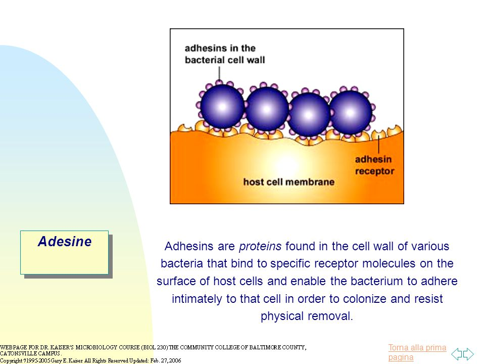 Torna alla prima pagina Adesine Adhesins are proteins found in the cell wall of various bacteria that bind to specific receptor molecules on the surface of host cells and enable the bacterium to adhere intimately to that cell in order to colonize and resist physical removal.