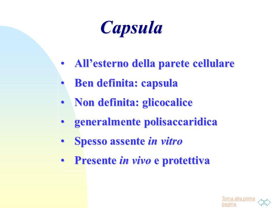 Torna alla prima paginaCapsula All'esterno della parete cellulareAll'esterno della parete cellulare Ben definita: capsulaBen definita: capsula Non def