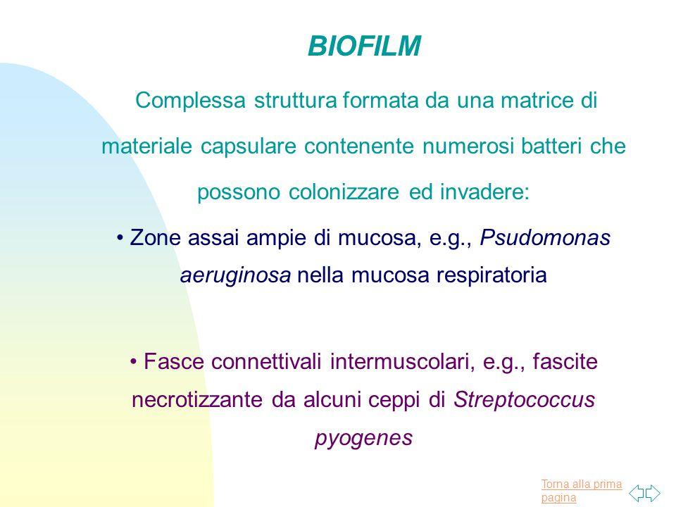 Torna alla prima pagina BIOFILM Complessa struttura formata da una matrice di materiale capsulare contenente numerosi batteri che possono colonizzare