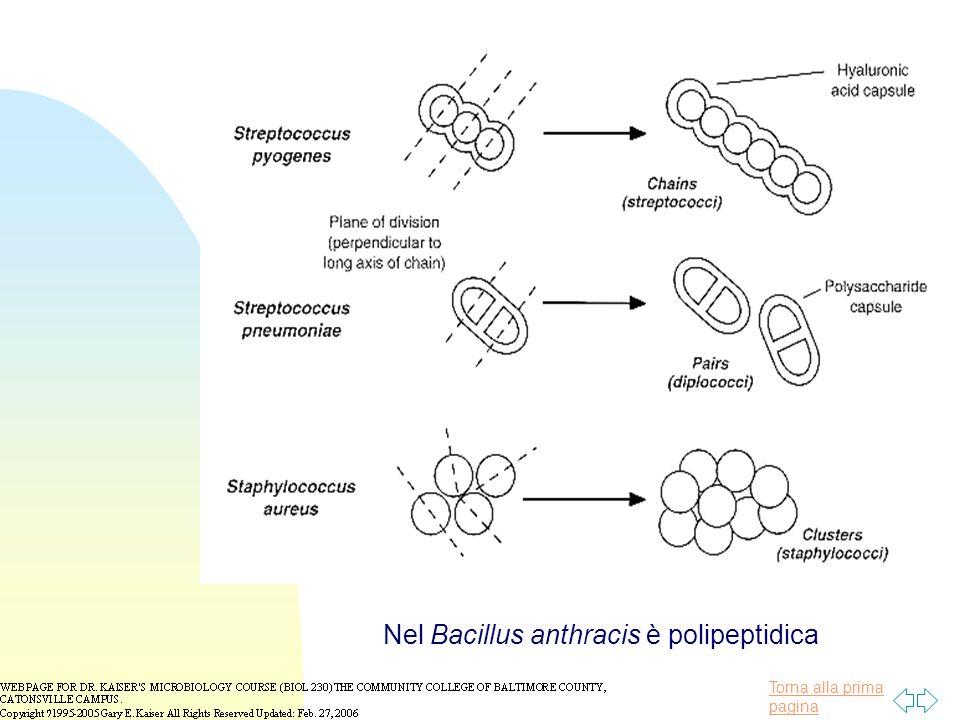 Torna alla prima pagina Nel Bacillus anthracis è polipeptidica