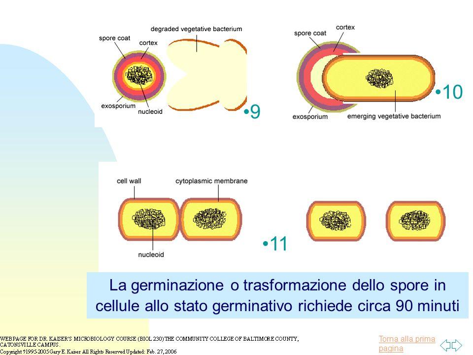 Torna alla prima pagina 9 10 11 La germinazione o trasformazione dello spore in cellule allo stato germinativo richiede circa 90 minuti