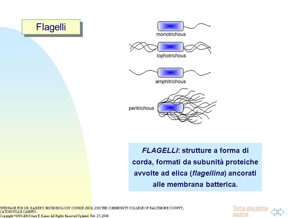 Torna alla prima pagina Flagelli FLAGELLI: strutture a forma di corda, formati da subunità proteiche avvolte ad elica (flagellina) ancorati alle membrana batterica.
