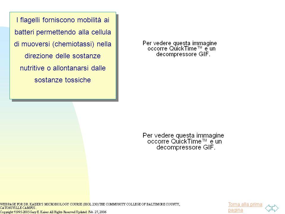 Torna alla prima pagina I flagelli forniscono mobilità ai batteri permettendo alla cellula di muoversi (chemiotassi) nella direzione delle sostanze nutritive o allontanarsi dalle sostanze tossiche