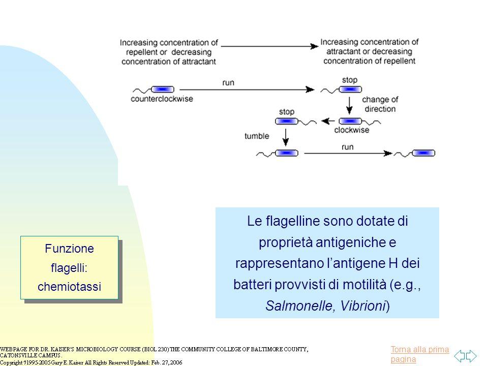 Torna alla prima pagina Funzione flagelli: chemiotassi Le flagelline sono dotate di proprietà antigeniche e rappresentano l'antigene H dei batteri provvisti di motilità (e.g., Salmonelle, Vibrioni)