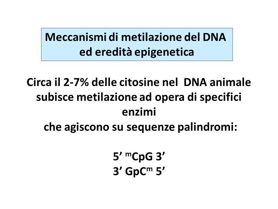 Meccanismi di metilazione del DNA ed eredità epigenetica Circa il 2-7% delle citosine nel DNA animale subisce metilazione ad opera di specifici enzimi che agiscono su sequenze palindromi: 5' m CpG 3' 3' GpC m 5'