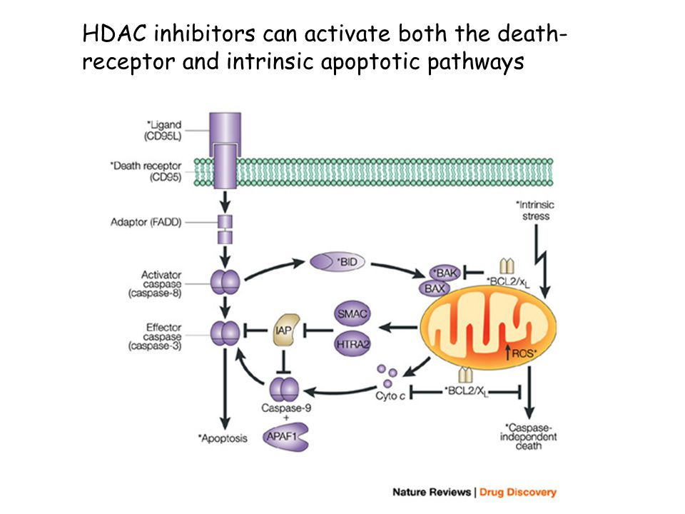 HDAC inhibitors can activate both the death- receptor and intrinsic apoptotic pathways