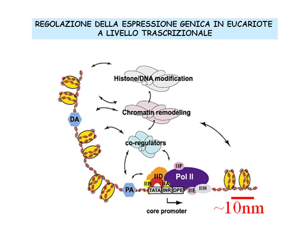 REGOLAZIONE DELLA ESPRESSIONE GENICA IN EUCARIOTE A LIVELLO TRASCRIZIONALE