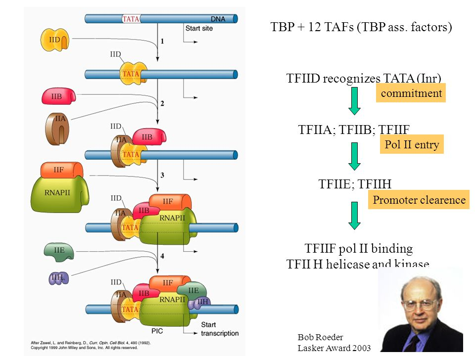 TBP + 12 TAFs (TBP ass. factors) TFIID recognizes TATA (Inr) TFIIA; TFIIB; TFIIF TFIIE; TFIIH TFIIF pol II binding TFII H helicase and kinase commitme