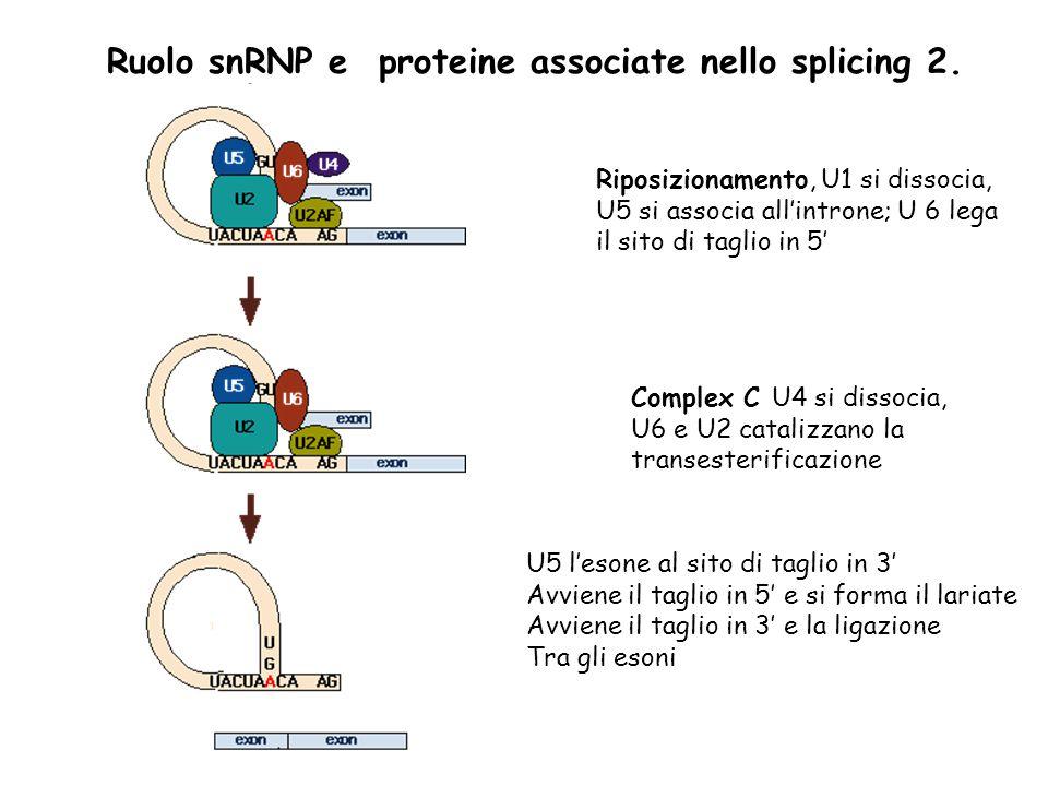 Complex C U4 si dissocia, U6 e U2 catalizzano la transesterificazione U5 l'esone al sito di taglio in 3' Avviene il taglio in 5' e si forma il lariate Avviene il taglio in 3' e la ligazione Tra gli esoni Riposizionamento, U1 si dissocia, U5 si associa all'introne; U 6 lega il sito di taglio in 5' Ruolo snRNP e proteine associate nello splicing 2.