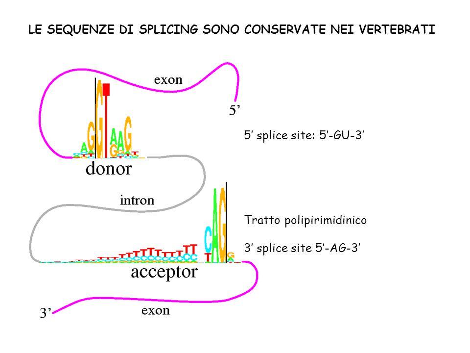 5' splice site: 5'-GU-3' Tratto polipirimidinico 3' splice site 5'-AG-3' LE SEQUENZE DI SPLICING SONO CONSERVATE NEI VERTEBRATI