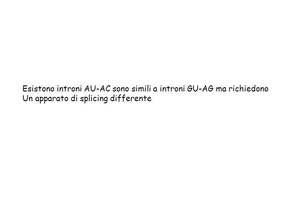 Esistono introni AU-AC sono simili a introni GU-AG ma richiedono Un apparato di splicing differente