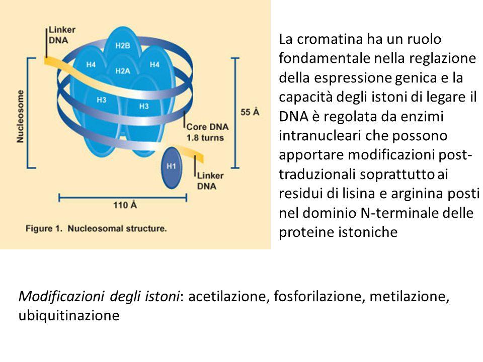 La cromatina ha un ruolo fondamentale nella reglazione della espressione genica e la capacità degli istoni di legare il DNA è regolata da enzimi intranucleari che possono apportare modificazioni post- traduzionali soprattutto ai residui di lisina e arginina posti nel dominio N-terminale delle proteine istoniche Modificazioni degli istoni: acetilazione, fosforilazione, metilazione, ubiquitinazione