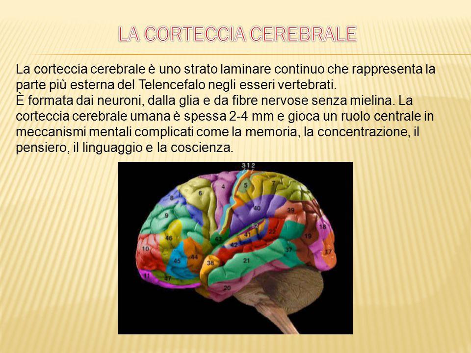 La corteccia celebrale formata da sostanza grigia, composta da cellule nervose costituisce la parte periferica degli emisferi cerebrali.