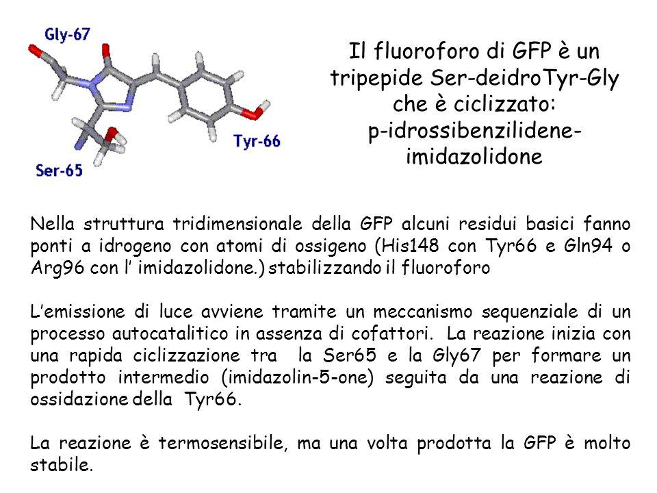 Nella struttura tridimensionale della GFP alcuni residui basici fanno ponti a idrogeno con atomi di ossigeno (His148 con Tyr66 e Gln94 o Arg96 con l'