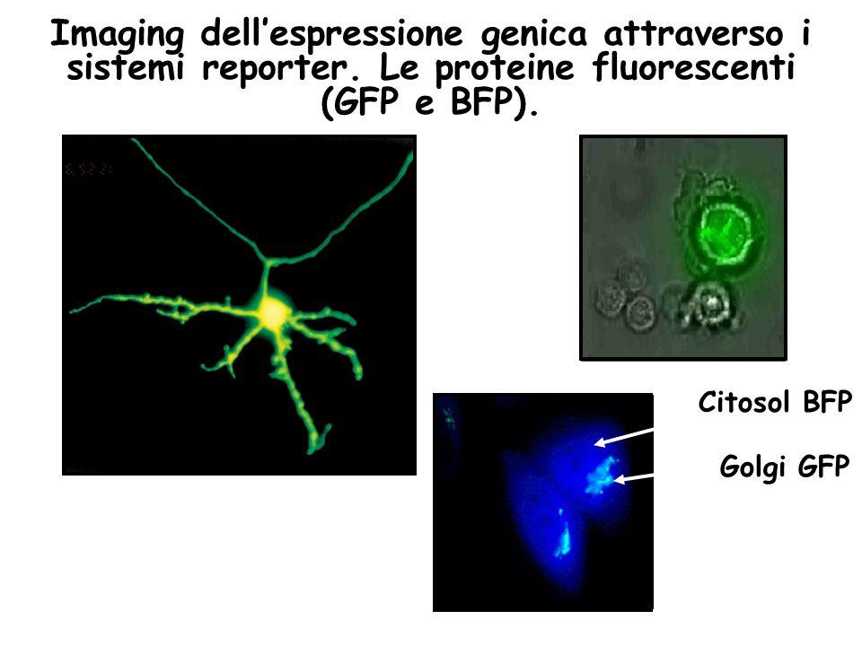 Imaging dell'espressione genica attraverso i sistemi reporter. Le proteine fluorescenti (GFP e BFP). Citosol BFP Golgi GFP