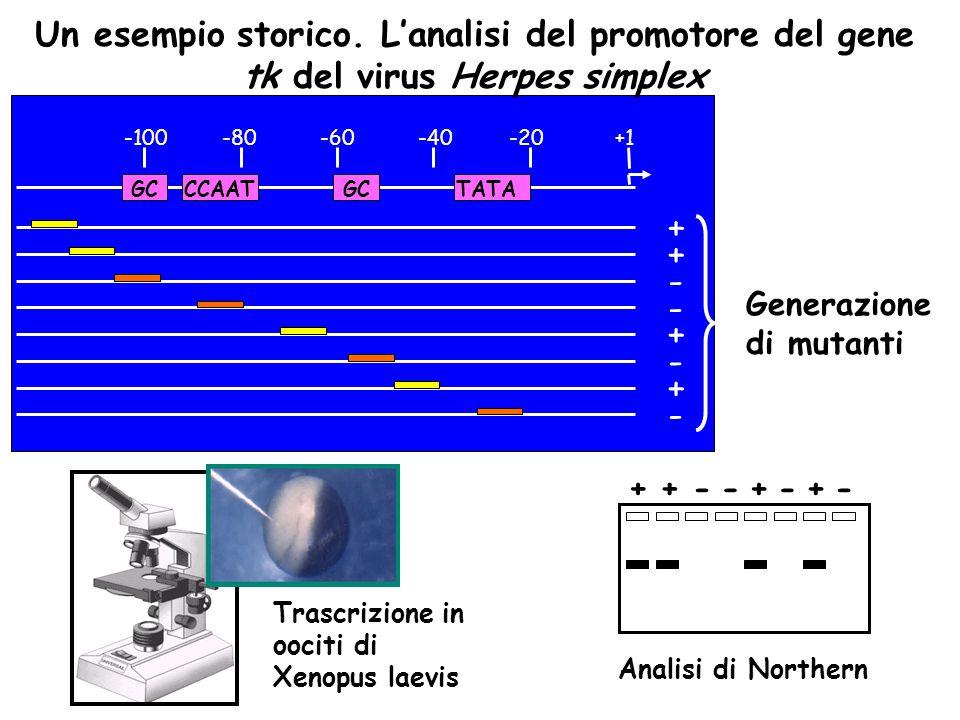 Un esempio storico. L'analisi del promotore del gene tk del virus Herpes simplex +1-20-40-60-80-100 GCCCAATGCTATA + + + + - - - - Generazione di mutan