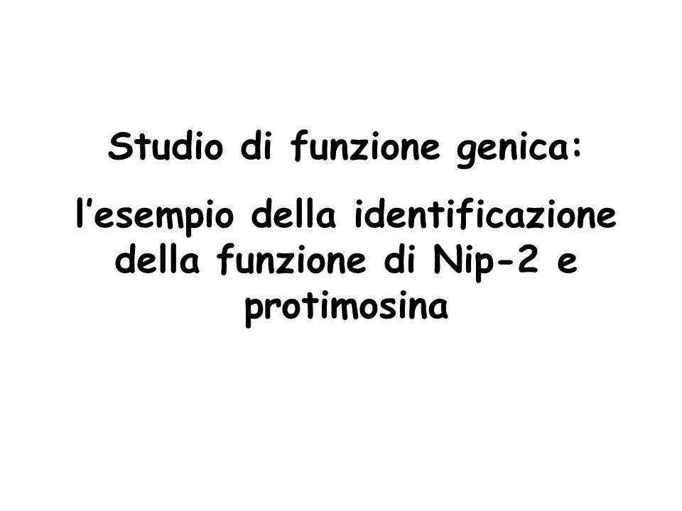 Studio di funzione genica: l'esempio della identificazione della funzione di Nip-2 e protimosina