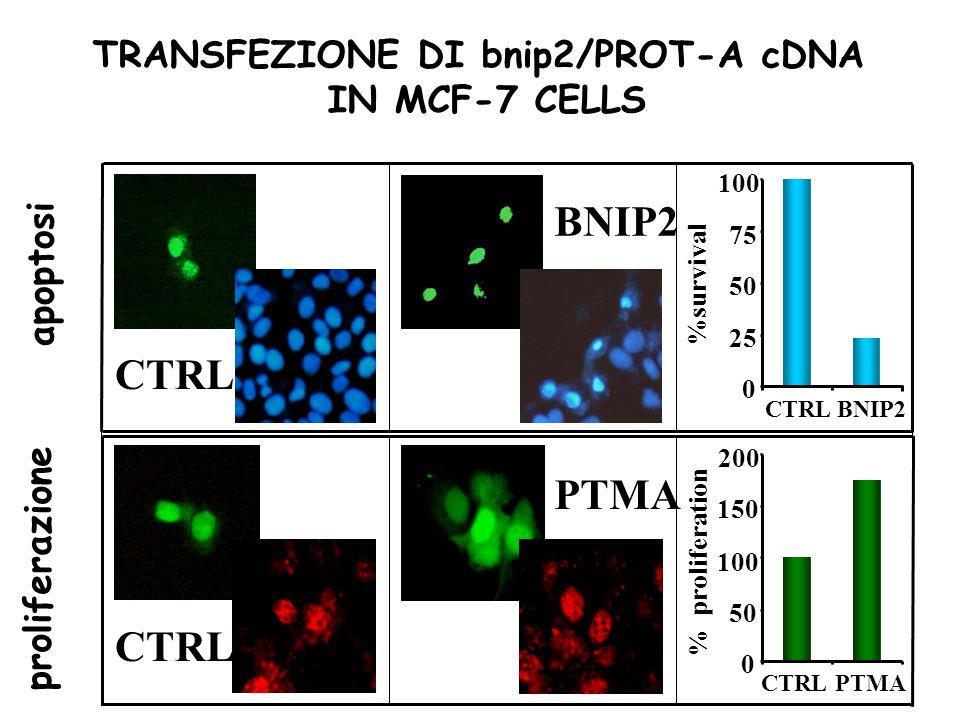 CTRL PTMA BNIP2CTRL 100 75 50 25 PTMACTRL 200 150 100 50 CTRL BNIP2 %survival % proliferation 0 0 TRANSFEZIONE DI bnip2/PROT-A cDNA IN MCF-7 CELLS apo