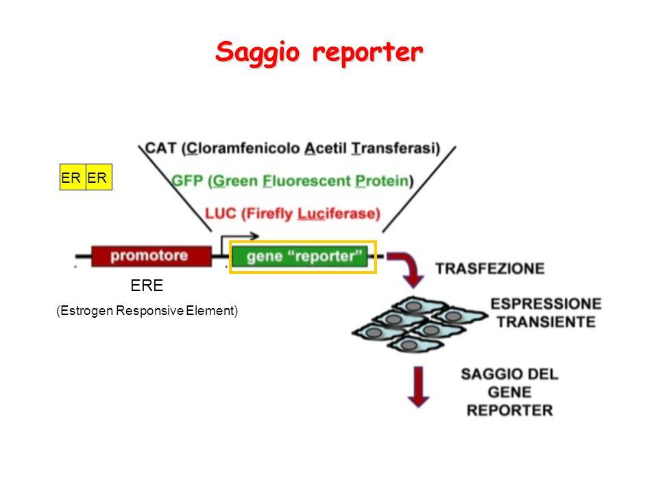 Saggio reporter ERE (Estrogen Responsive Element) ER