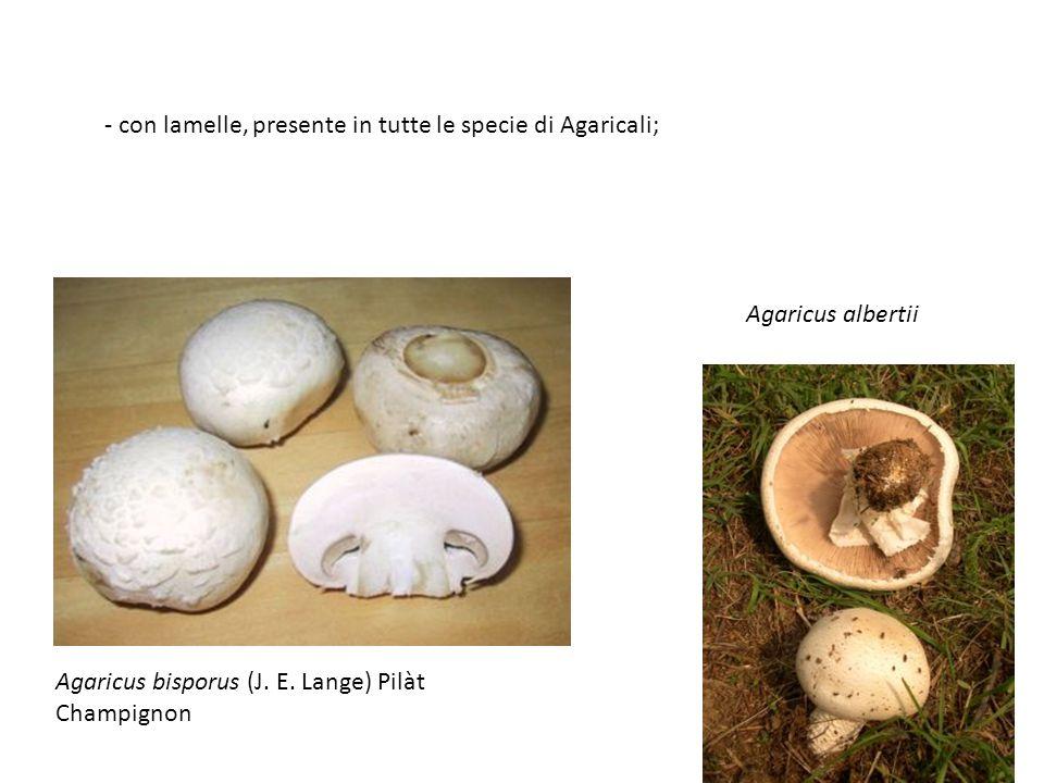 - con lamelle, presente in tutte le specie di Agaricali; Agaricus albertii Agaricus bisporus (J. E. Lange) Pilàt Champignon