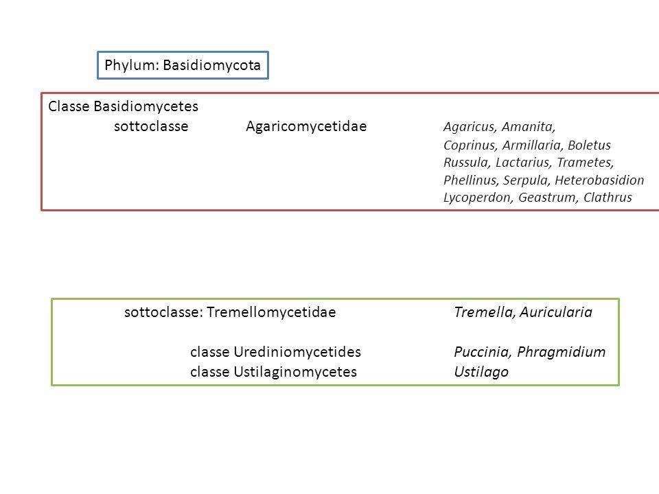 Classe Basidiomycetes sottoclasseAgaricomycetidae Agaricus, Amanita, Coprinus, Armillaria, Boletus Russula, Lactarius, Trametes, Phellinus, Serpula, H