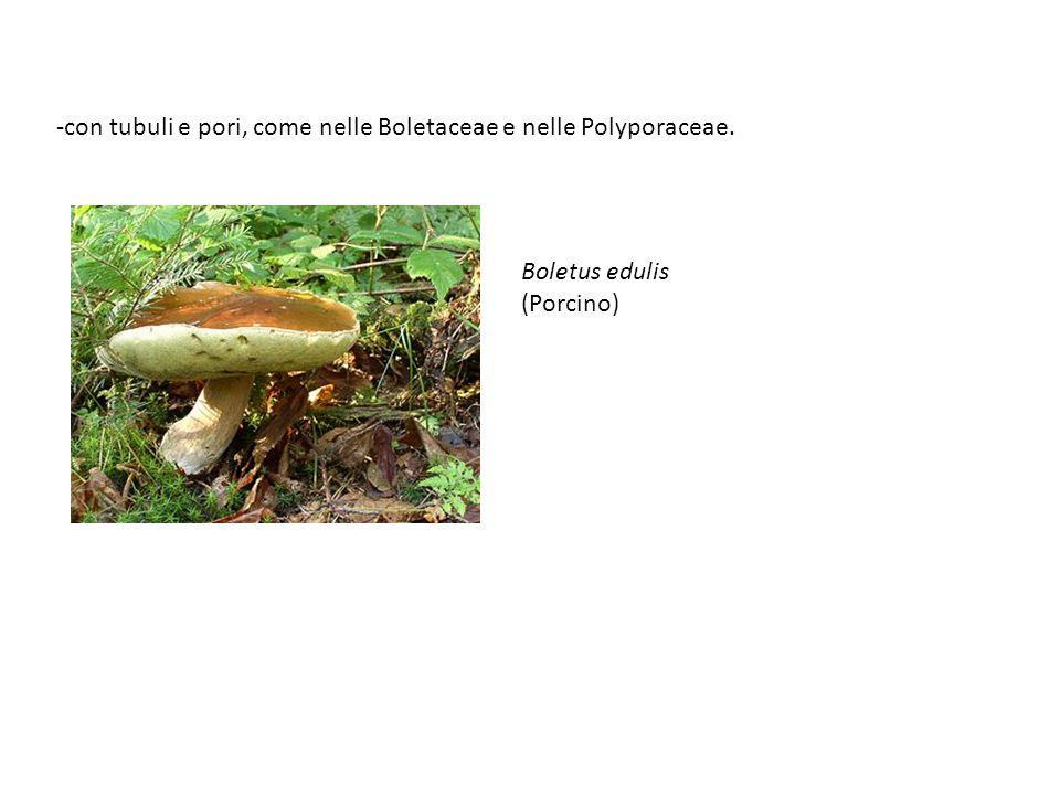 -con tubuli e pori, come nelle Boletaceae e nelle Polyporaceae. Boletus edulis (Porcino)
