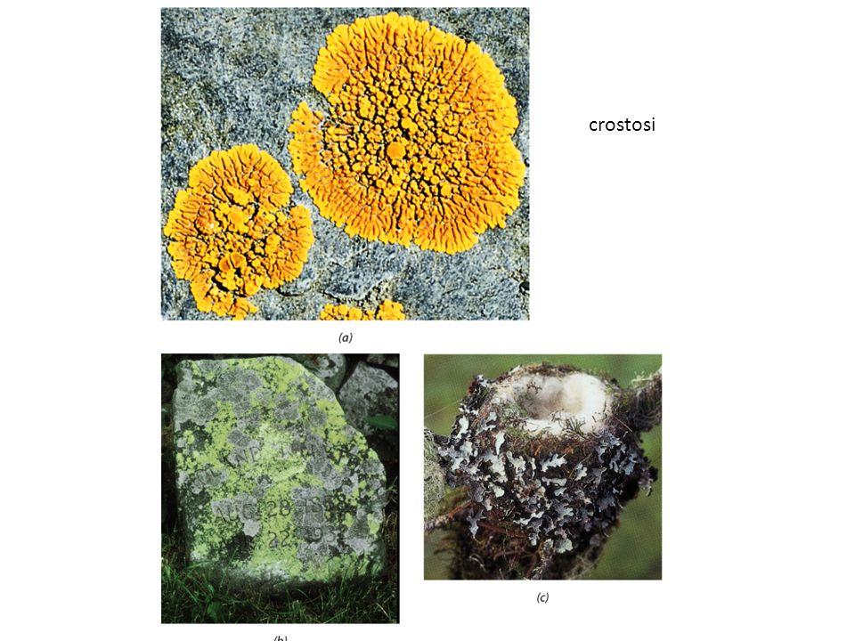 crostosi