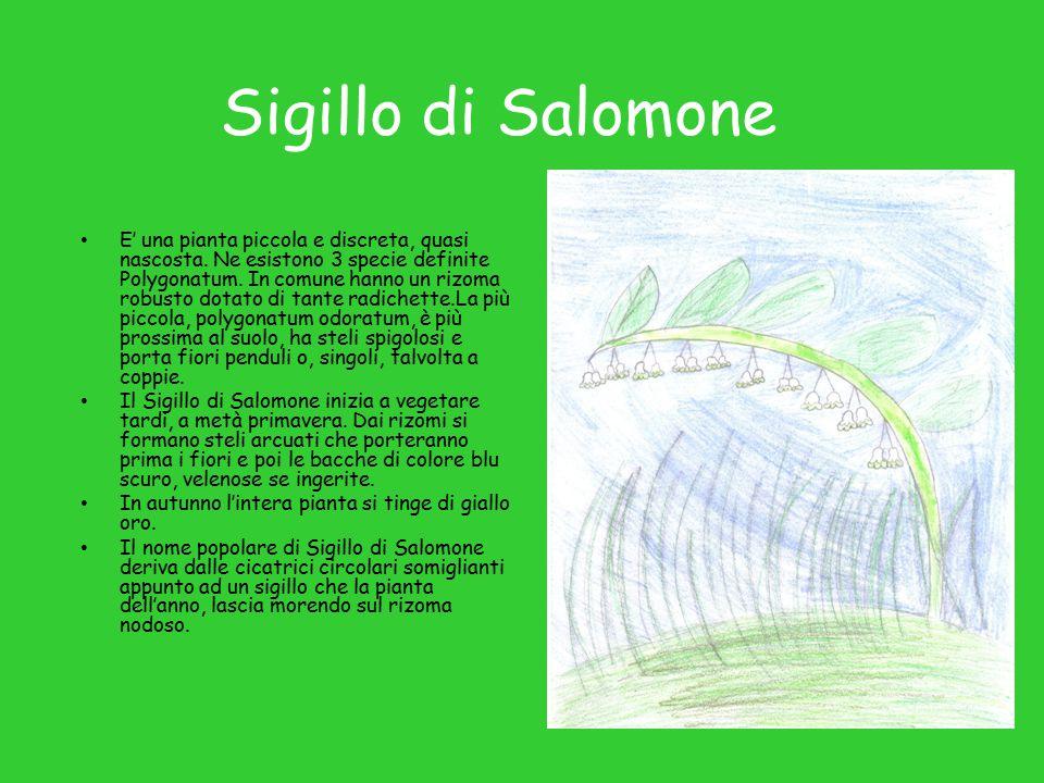 Sigillo di Salomone E' una pianta piccola e discreta, quasi nascosta.