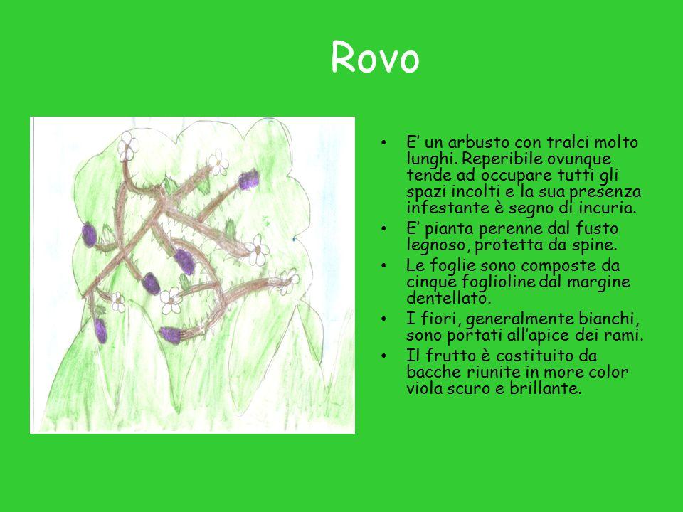 Viola E' una pianta perenne, alta 10-15 cm, con fioritura primaverile.