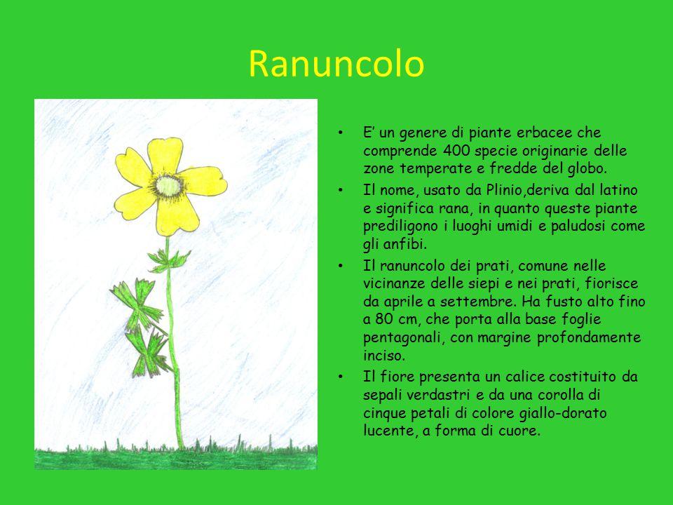Ranuncolo E' un genere di piante erbacee che comprende 400 specie originarie delle zone temperate e fredde del globo.