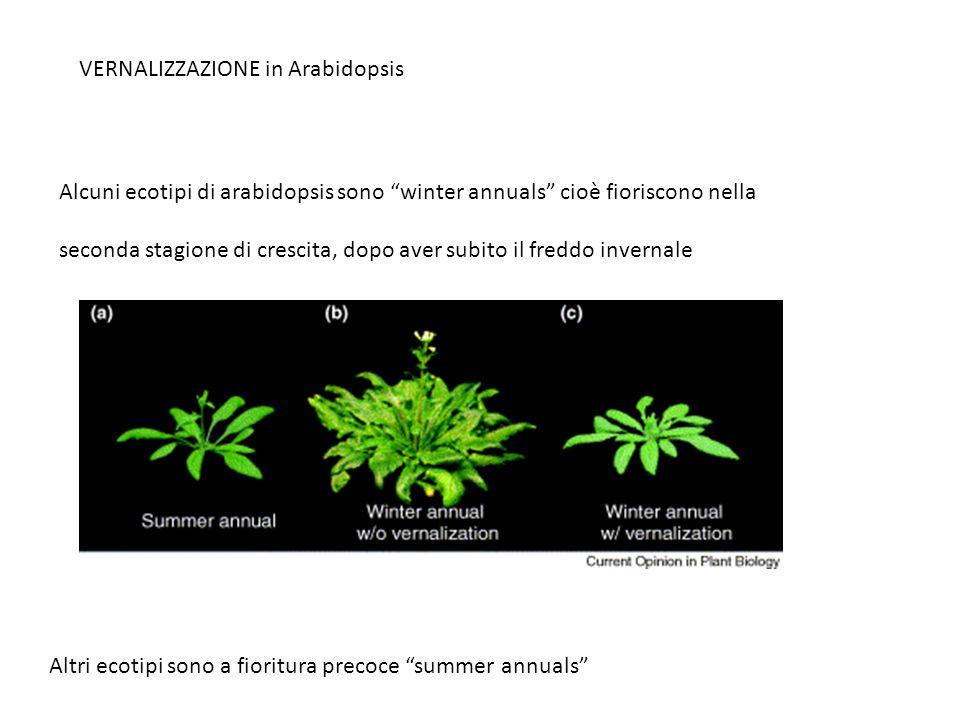 """Alcuni ecotipi di arabidopsis sono """"winter annuals"""" cioè fioriscono nella seconda stagione di crescita, dopo aver subito il freddo invernale VERNALIZZ"""