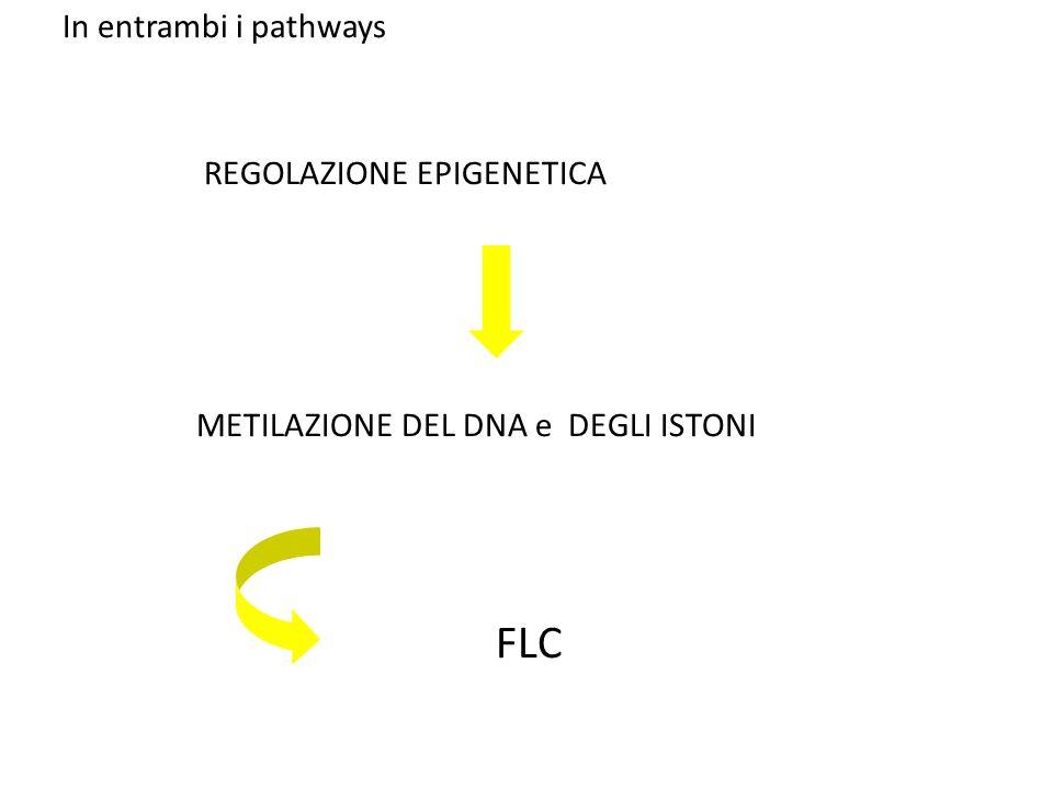 REGOLAZIONE EPIGENETICA METILAZIONE DEL DNA e DEGLI ISTONI FLC In entrambi i pathways