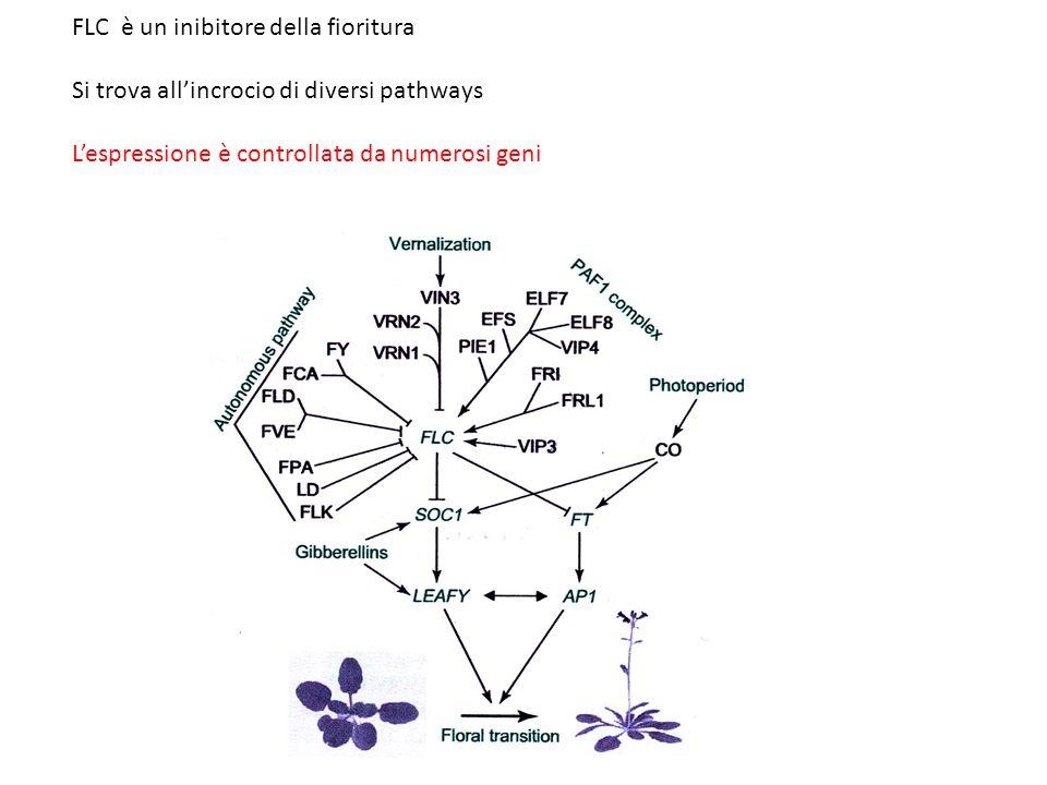 FLC è un inibitore della fioritura Si trova all'incrocio di diversi pathways L'espressione è controllata da numerosi geni
