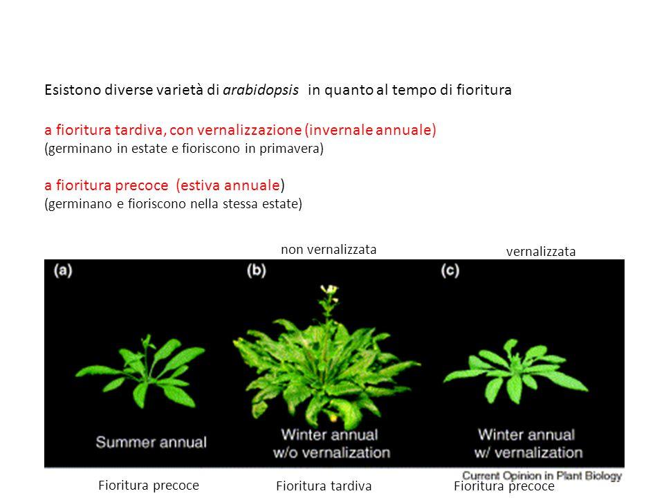 Esistono diverse varietà di arabidopsis in quanto al tempo di fioritura a fioritura tardiva, con vernalizzazione (invernale annuale) (germinano in est