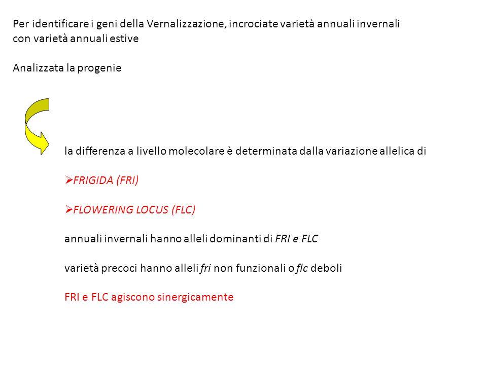 la differenza a livello molecolare è determinata dalla variazione allelica di  FRIGIDA (FRI)  FLOWERING LOCUS (FLC) annuali invernali hanno alleli d