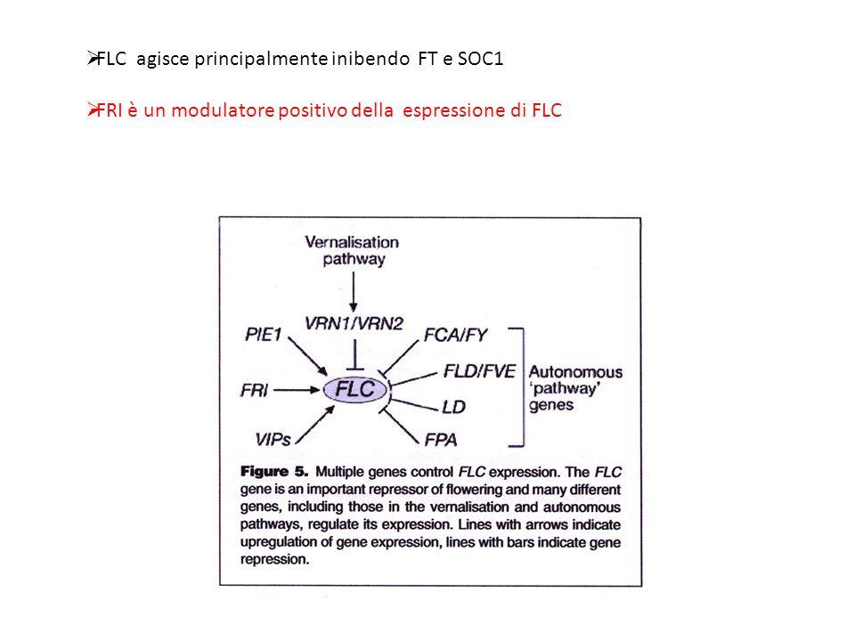  FLC agisce principalmente inibendo FT e SOC1  FRI è un modulatore positivo della espressione di FLC