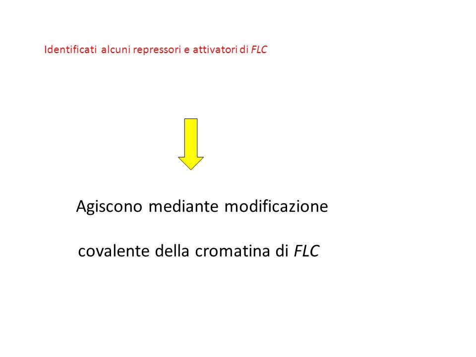 Identificati alcuni repressori e attivatori di FLC Agiscono mediante modificazione covalente della cromatina di FLC