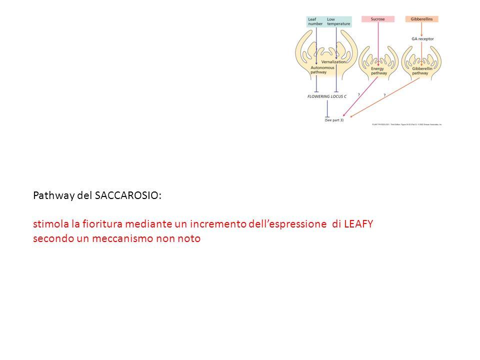 Pathway del SACCAROSIO: stimola la fioritura mediante un incremento dell'espressione di LEAFY secondo un meccanismo non noto