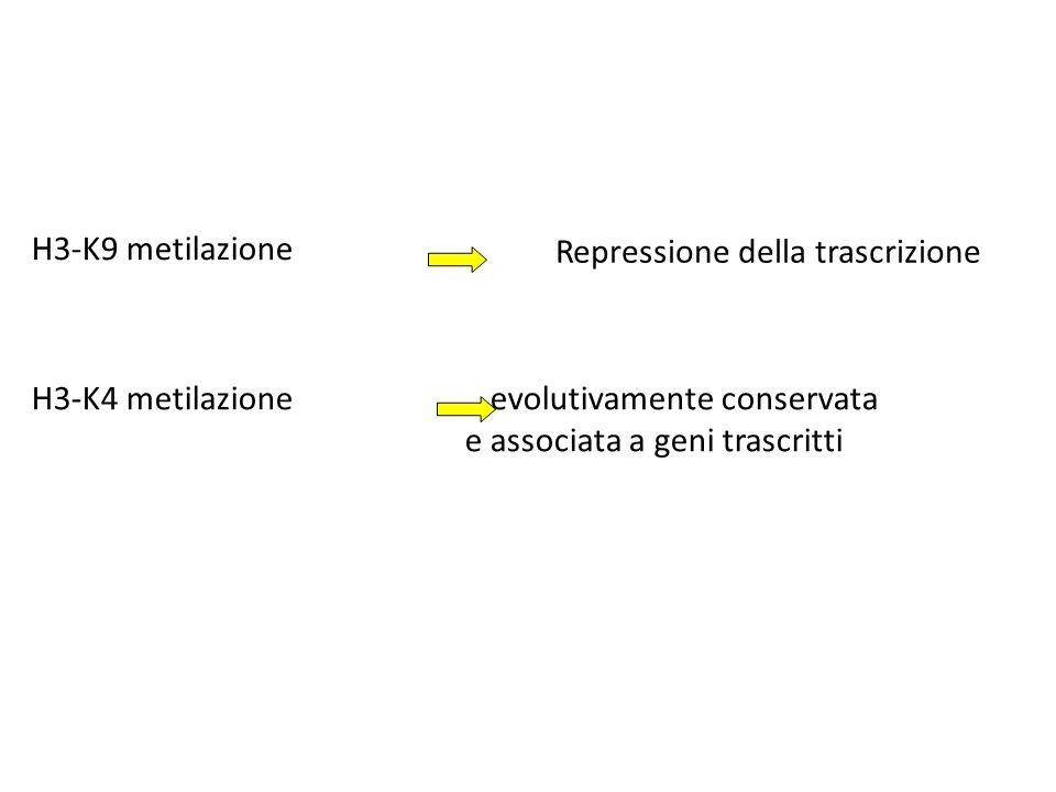 H3-K4 metilazione evolutivamente conservata e associata a geni trascritti H3-K9 metilazione Repressione della trascrizione