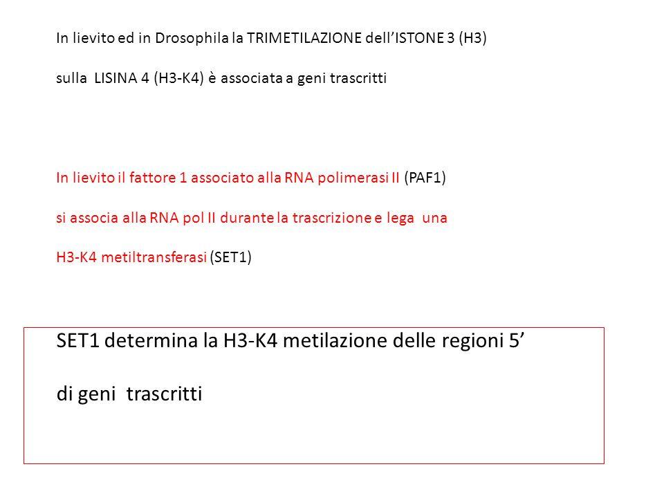 In lievito ed in Drosophila la TRIMETILAZIONE dell'ISTONE 3 (H3) sulla LISINA 4 (H3-K4) è associata a geni trascritti In lievito il fattore 1 associat
