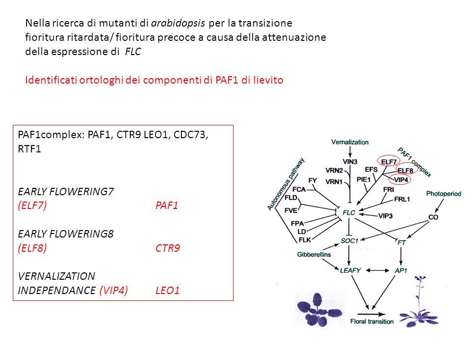 Nella ricerca di mutanti di arabidopsis per la transizione fioritura ritardata/ fioritura precoce a causa della attenuazione della espressione di FLC